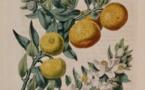 Les agrumes, patrimoine culturel et économique